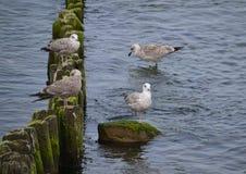 Seagulls Στοκ φωτογραφία με δικαίωμα ελεύθερης χρήσης