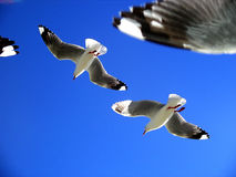 Seagulls. Flying directly overhead in a blue sky Royalty Free Stock Photos