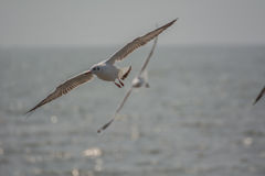 seagulls Royaltyfria Foton