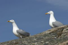 Seagulls. Two seagulls sitting on a rock. Blue sky in background stock images