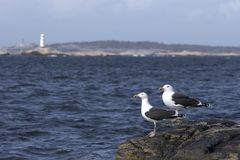 Seagulls. Two seagulls sitting on a rock with a lighthouse in background stock images