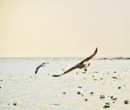 seagulls Obraz Royalty Free