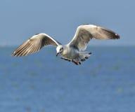 seagulls Zdjęcia Royalty Free