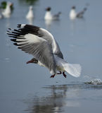 seagulls Fotografering för Bildbyråer