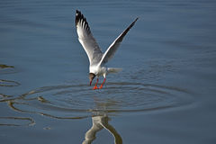 seagulls Royaltyfri Bild