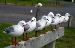Seagulls. Row of seagulls in southern island in New Zealand Stock Photos