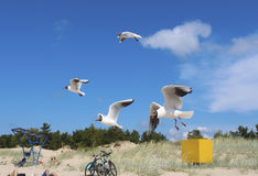 Seagulls above a beach. Flying seagulls against a blue sky and sandy beach background Stock Photography