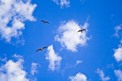 Seagulls against blue sky. With clouds Stock Photos