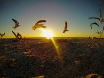 Seagulls against sunset. Group of flying seagulls against the golden sunset at the beach Royalty Free Stock Images