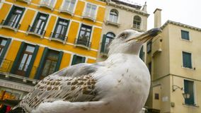 Seagulls, the aggressive birds that adapt to live in the city royalty free stock image