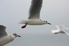 Seagulls in the air. A photo of a Seagull stock photo