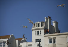 Seagulls in the air against blue skies and white buildings. This image shows some seagulls flying in the air; it was taken against blue skies and some white Stock Photography