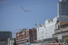 Seagulls in the air in Brighton, England. Stock Photography