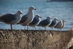 Seagulls in line at Akaroa, New Zealand Stock Photo