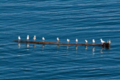 Seagulls in Alaska on Log Stock Photography