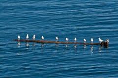 Seagulls in Alaska on Log Stock Photography
