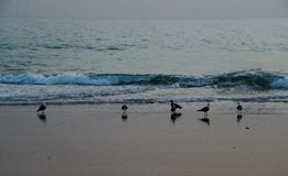 Seagulls in Albufeira, Algarve Portugal royalty free stock image