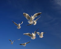 Seagulls angels. In the blue sky hovering gulls, like the angels Royalty Free Stock Photos