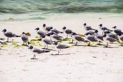 Seagulls. Archipielago Los Roques in Venezuela Stock Image