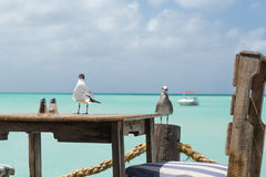Seagulls in Aruba are ready for lunch. On Pelican Pier, an amazing lookout to the sea and view for a meal in Aruba in the Dutch Antilles.  The birds are ready Royalty Free Stock Photo