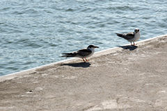 Seagulls ashore Royalty Free Stock Photography