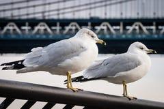 Seagulls At Brooklyn Bridge Park Royalty Free Stock Photos