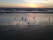 Seagulls on Atlantic Ocean Beach during Dawn. Stock Image