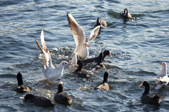 Seagulls attack flock of pochards Royalty Free Stock Photos