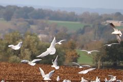 Seagulls in the autumn sky England royalty free stock photos