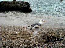 Seagulls av Capri Royaltyfri Fotografi