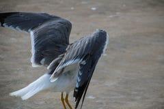 Seagulls av madeiran Royaltyfri Foto