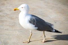 Seagulls av madeiran Arkivbilder