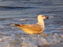 Seagulls on the Baltic Sea island of Rügen royalty free stock photos