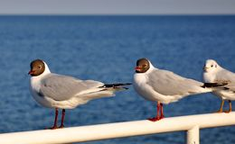 Seagulls at the Baltic Sea in Poland Royalty Free Stock Images