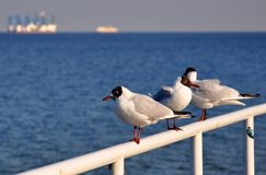 Seagulls at the Baltic Sea in Poland Stock Photos