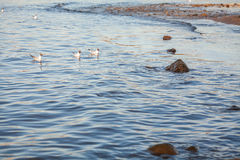Seagulls at Baltic sea Stock Photography