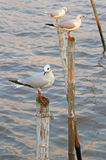 Seagulls at  Bang Pu The new home for the warm fertile. Popular tourist destinations in Thailand. Stock Photos