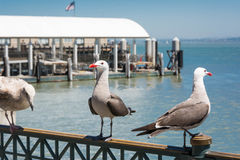 The seagulls on the banister in San Francisco. The seagulls in the bay of San Francisco Royalty Free Stock Photo
