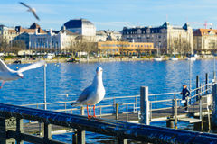 Seagulls on the bank of the Limmat River, in Zurich Royalty Free Stock Images