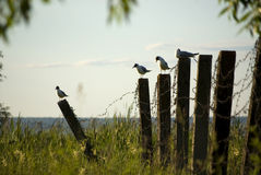 Seagulls on barbwire fence Stock Photos