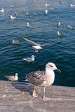 Seagulls in Barcelona Royalty Free Stock Photo