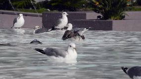 Seagulls bathinh on a fountain stock footage