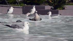 Seagulls bathinh on a fountain stock footage