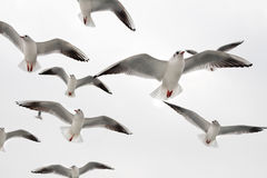 Seagulls. Royalty Free Stock Photos
