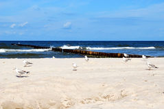 Seagulls on a beach. Many white seagulls walking on a sunny beach Royalty Free Stock Image