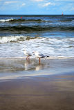 Seagulls on a beach Stock Photography