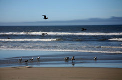 Seagulls at the Beach Royalty Free Stock Photos