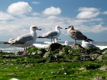 Seagulls on the beach. Seagulls observing the cam Royalty Free Stock Photo