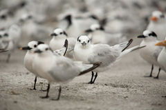 Seagulls on the Beach. Flock of Seagulls resting on the beach in Sanibel Island, Florida stock images