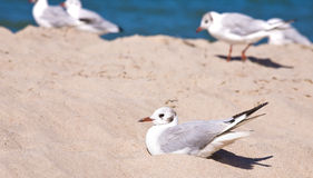 Seagulls on the beach Royalty Free Stock Image